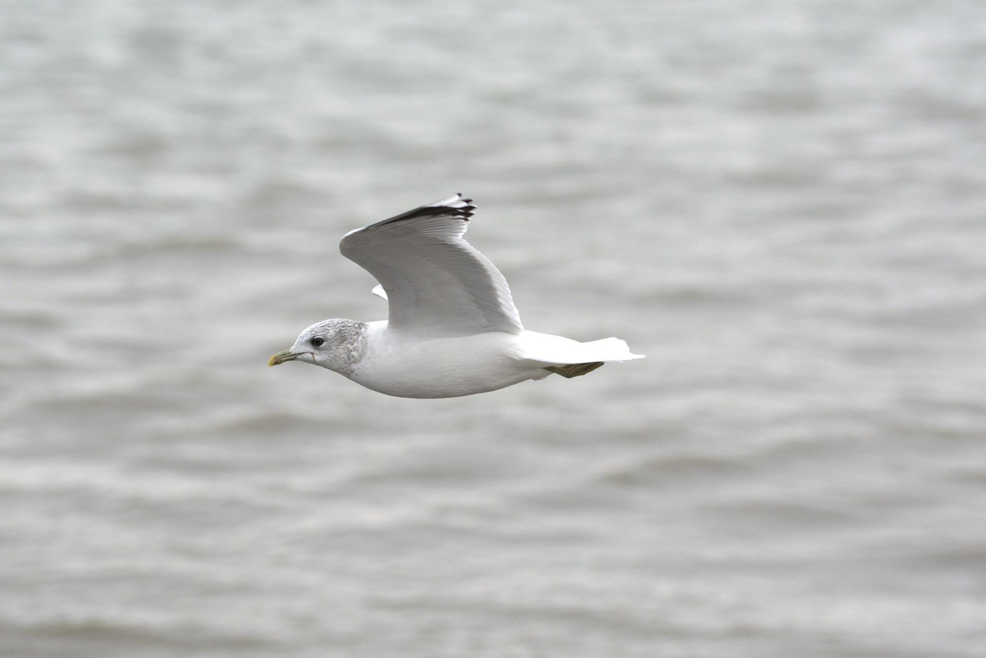 herring-gull-2021363_1920