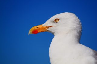 seagull-517091_1920